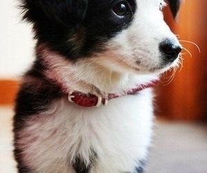 australian shepherd, dog, and cute image