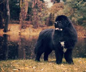 animal, dog, and newfoundland image