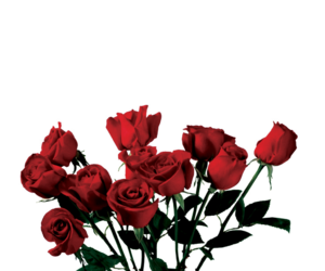 rose, red, and edit image