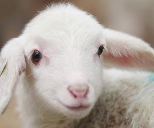 sheep, cute, and lamb image