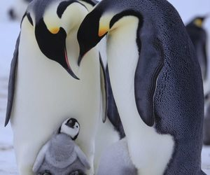 adorable, family, and penguins image