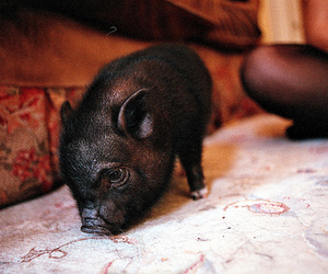 adorable, photography, and mini pig image