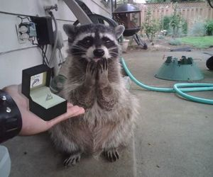 cute, animal, and raccoon image