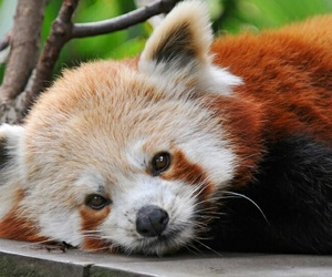 Red panda and animal image
