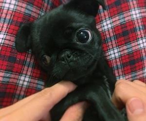 dog, mops, and pug image