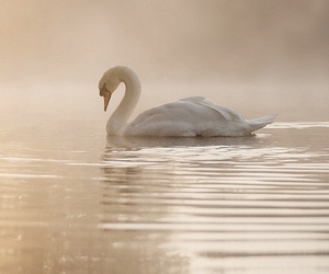 Swan, beautiful, and water image