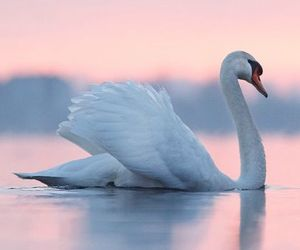 Swan and beautiful image