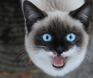 blue, eyes, and gatto image