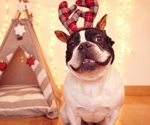 adorable, animal, and bulldog image