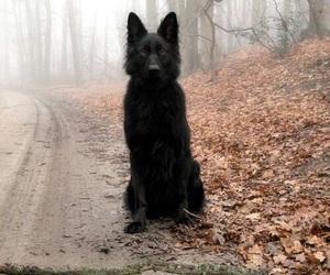 dog, black, and wolf image