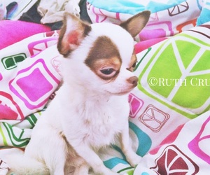 animals, chihuahua, and woof image
