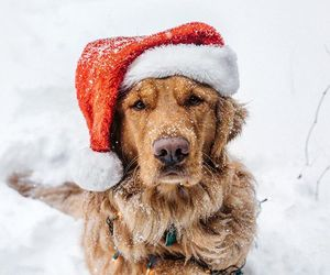 dog, christmas, and labrador image