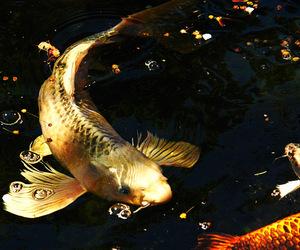 fish, koi, and dragon koi image