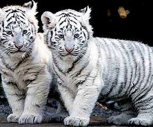 babies, cubs, and stripes image