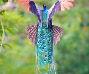 peacock, bird, and colors image