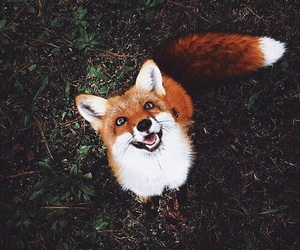 animals, foxes, and fox image