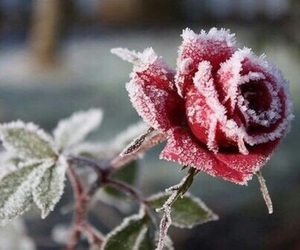 red, rose, and winter image