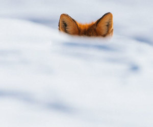 fox, nature, and photograpghy image