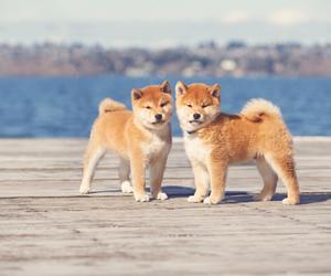 dogs, shiba, and shiba puppy image