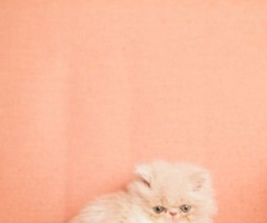 peach, cat, and aesthetic image