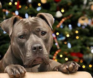 christmas, lights, and pitbull image