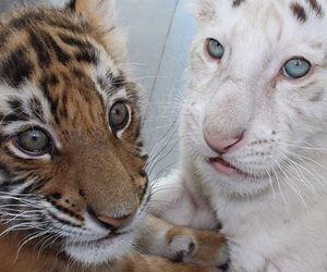 animal, baby, and tiger image