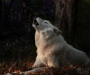 wolf, beautiful, and love image