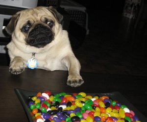 pug and jellybeans image