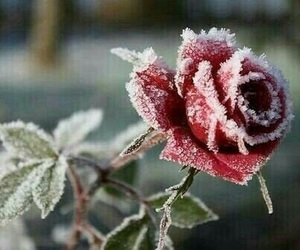 rose, winter, and flowers image