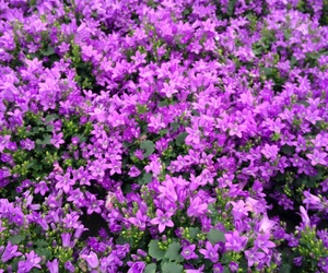 flowers, little, and purple image