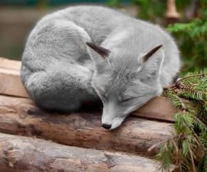fox, animal, and grey image