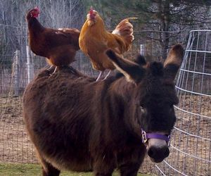 donkey, hen, and cute image