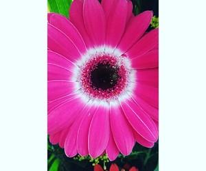 flower, gerberas, and natural image