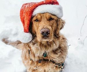 dog, christmas, and labrador image