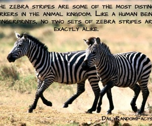 animals, zebra, and facts image