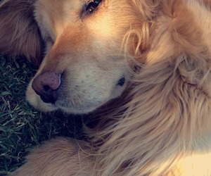 dog, golden, and cute image