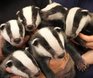badger, animal, and baby image
