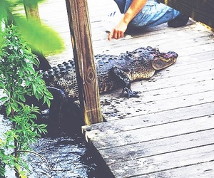 alligator, everglades, and water image