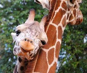 animal, Girafe, and mignon image