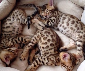 omg bengals hehe in love image
