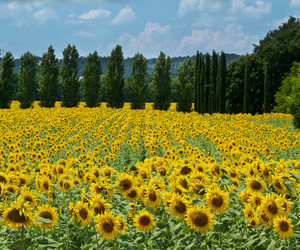 landscape, nature, and sunflowers image