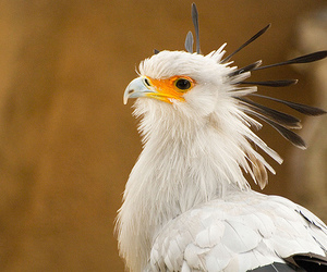animal portrait, southern california, and secretary bird image