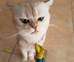 angry cat, cat, and funny image
