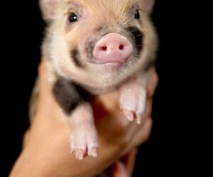 adorable, mini pig, and cute image
