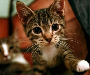 kitten, cute, and another cat image