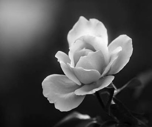 beautiful, rose, and white image