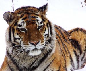 tiger, naturesfinest, and specanimal image