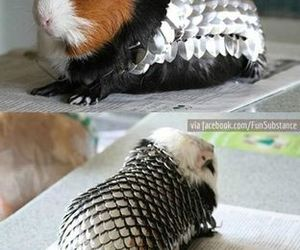 animal, funny, and guinea pig image