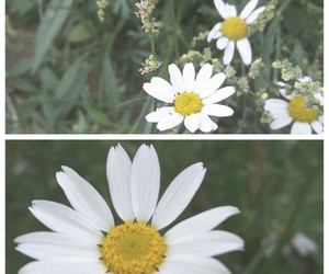 camomile, flowers, and garden image