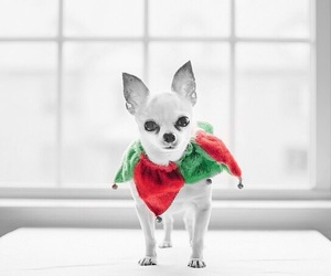 chihuahua, color pop, and cute image
